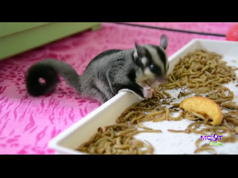 วิธีการเลี้ยง.. ชูการ์ไกลเดอร์ | PET society