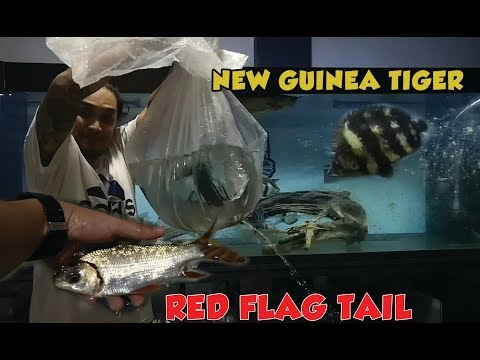New Fish - Red Flag Tail And New Guinea Tiger