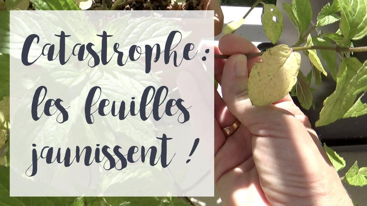Plant De Menthe En Pot ma menthe jaunit : que faire ? | astuce jardinage