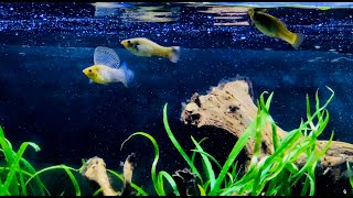 Molly Fish Mating Display - (Poecilia Velifera, Campeche)