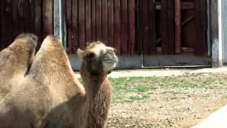 Верблюд двугорбый бактриан