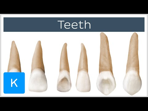 Teeth (preview) - Human Anatomy | Kenhub