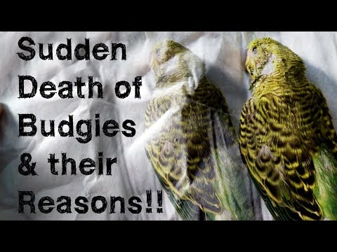 Reasons of Sudden Death of Budgies | Paralysis in Budgies- Symptoms and Reasons