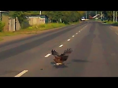 Видео: Коршун хватает добычу на трассе | Кемерово