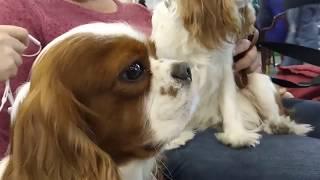 Кавалер-кинг-чарльз-спаниель - собака, способная подстроиться под любые привычки хозяина