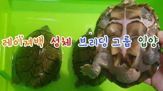 반수생 거북이 레이져백 브리딩 성체 그룹을 소개합니다