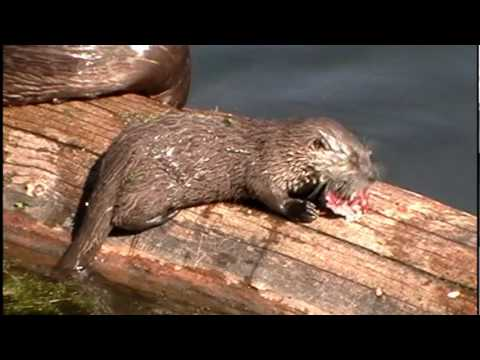 River Otters in Yellowstone - Trout Lake - Time to Eat