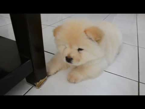Chow Chow puppy 01