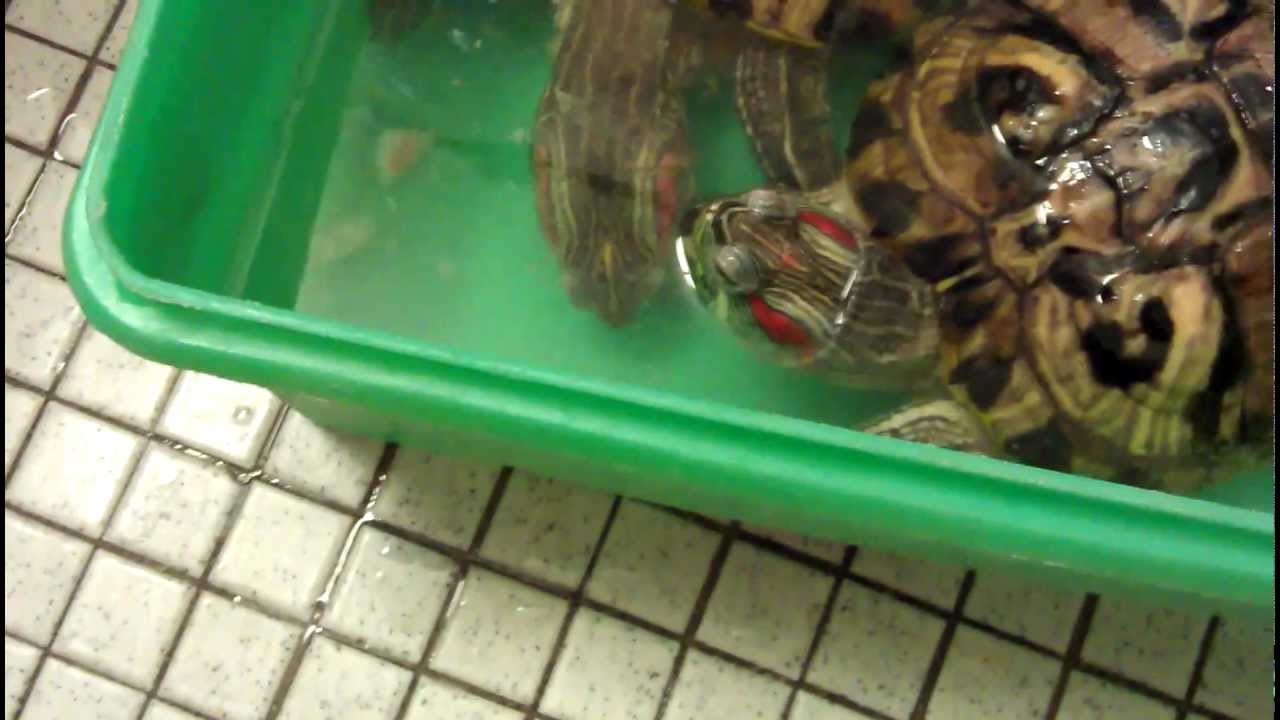 What do red-eared turtles eat