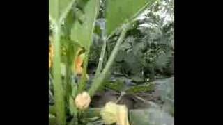 Zucchini plant growing - time lapse