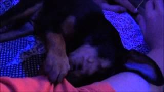 A Real Littlest Pet Shop - My New Min Pin Puppy