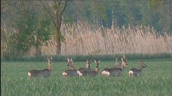 Imagen del video: CAZA: Corzos en la llanura húngara