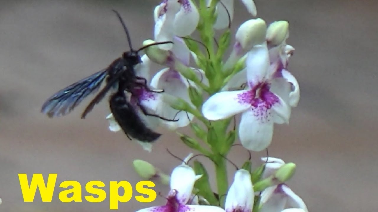 a black wasp moving from flower to flower and eating nectar youtube