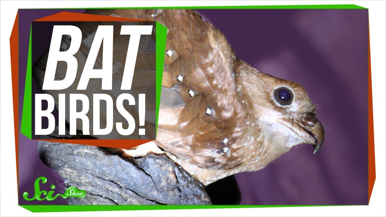meet-the-oilbird-a-bird-that-thinks-it-s-a-bat