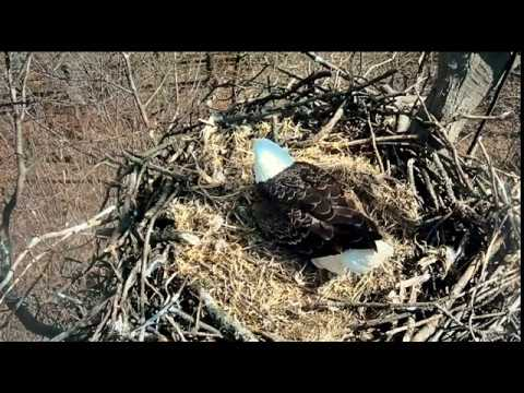 3:35 pm 3/19/18 After the eggs were uncovered.... Hanover eagles