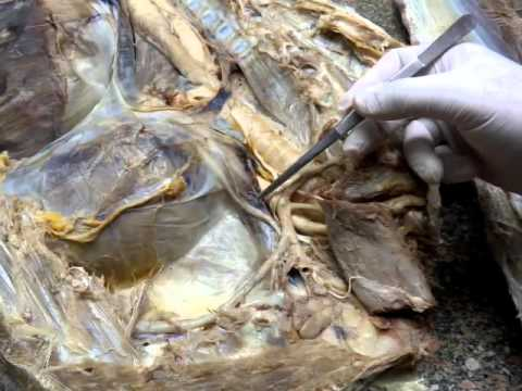Thoracic cavity by dr khaled shoghy