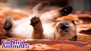 Очень Смешные кошки!!! СМЕШНО ДО СЛЁЗ 2016 | Funny cats compilation 2016