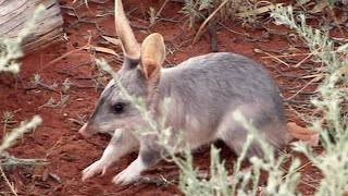 Rescuing The Bilby's | Nature's Miracle Babies | BBC Earth