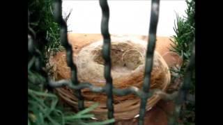 Criação de pintassilgo portugês (Carduelis carduelis parva)
