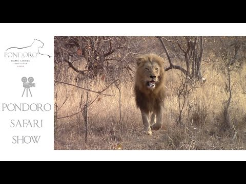 A big male lion running away from a pride of 6