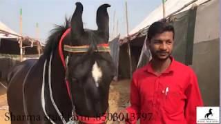 Marwari Horse  Best Marwari Horse  Sarangkheda Horse Fair  Pushkar Horse Fair  Best Marwari