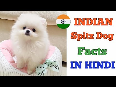 #SpitzDog  | Indian spitz dog facts in Hindi | Dogs And Facts