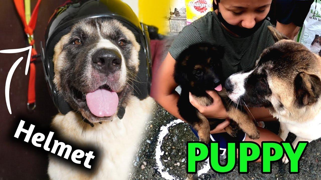 Human Helmet For Akita 😃 | Akita Met GSD Puppy 🐕
