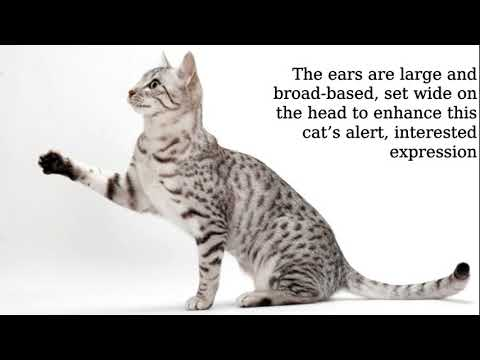 Egyptian Mau: long and muscular
