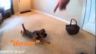 "Border Terrier ""kaylee"" Training Video. 5 1/2 Months."