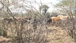 Looming Drought Samburu