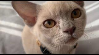 Lilac Burmese cat Bundy exploring