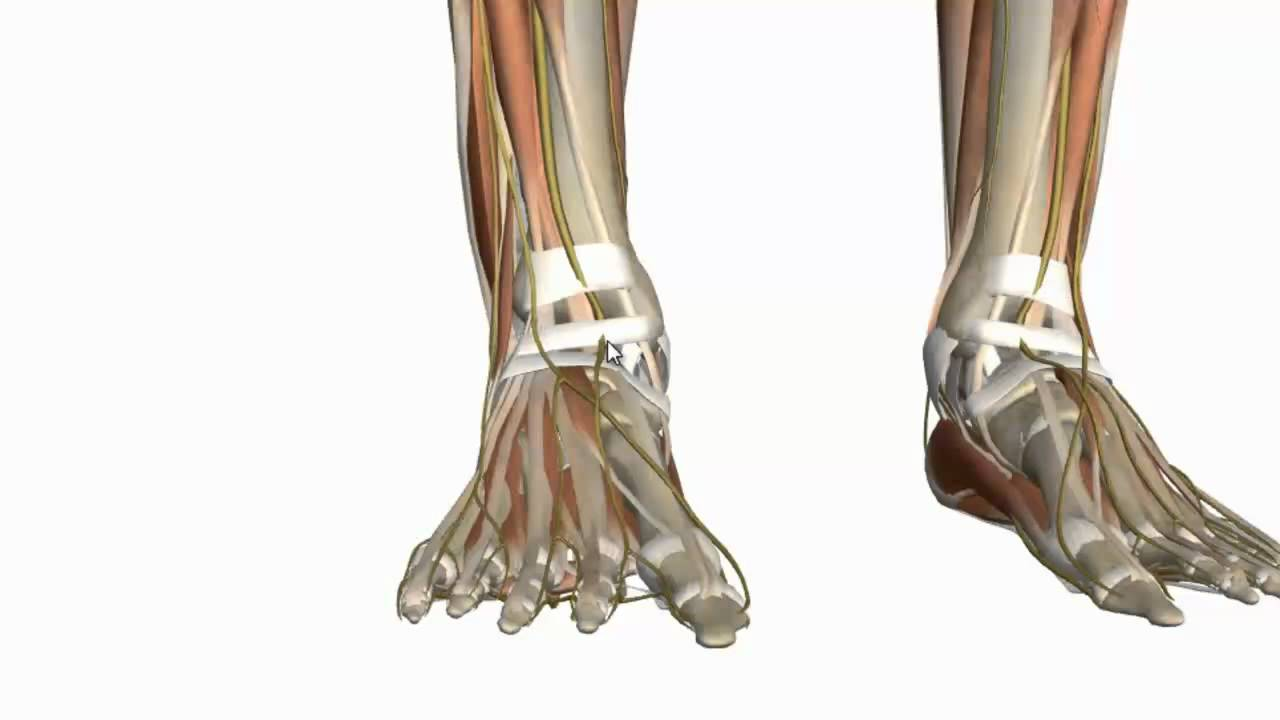 Muscles of the Foot Part 1 - 3D Anatomy Tutorial - YouTube