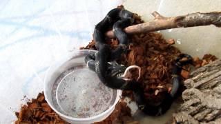 Кормление змей. Амурский полоз, ковровый питон, молочная змея и желтопузик