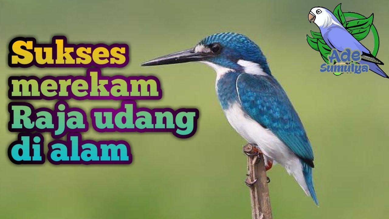 Sebab jenis makanan burung cekakak sungai berupa kepiting, udang, katak,. Sukses merekam burung Raja udang Tengkek Cekakak di Alam ...