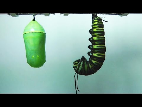 Monarch Butterfly Metamorphosis time-lapse FYV 1080 HD