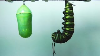 Monarch Butterfly Metamorphosis time-lapse FYV 1080 HD thumbnail