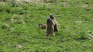 Swiss Marmot Wrestling