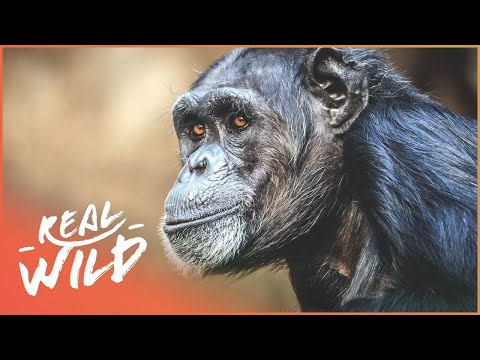 Anesthetic On Chimp Produces Surprising Results | Zoo Days | Real Wild