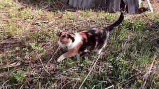 Кошка гуляет по даче)