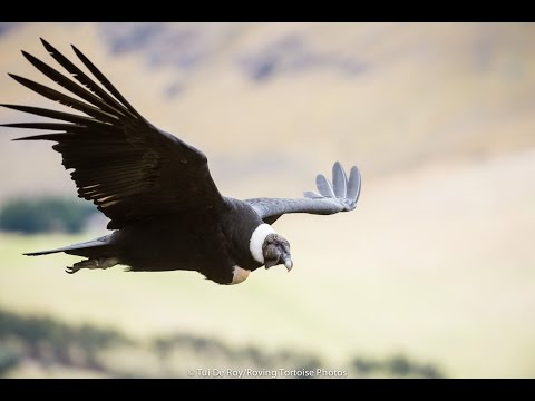 Andean Condor research