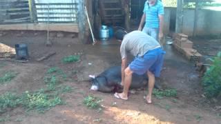 Matando porco com carabina de pressão nitro 1000 5.5
