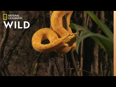 Snake V. Bat | World's Deadliest