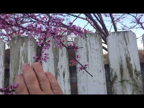 Edible Eastern Redbud Tree