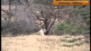 Жираф убивает львицу  Бои животных  Звериная жестокость