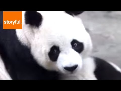 World's Only Panda Triplets Fights Over Mom (Storyful, Wild Animals)