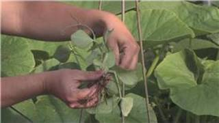 Growing Edible Plants : Growing Green Beans In A Container