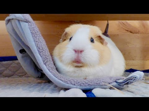 10 Reasons Why You Should Get Guinea Pigs