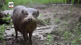 Virus lockdown for world's rarest wild pigs