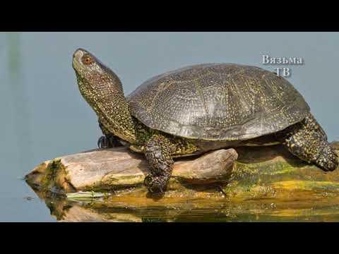 Невероятно, но факт В Вяземских прудах завелись черепахи в Вязьме