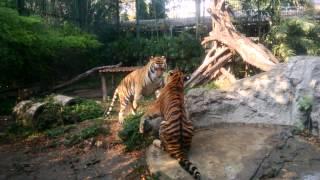 Download Video Tigers Fight at Bangkok Zoo MP3 3GP MP4